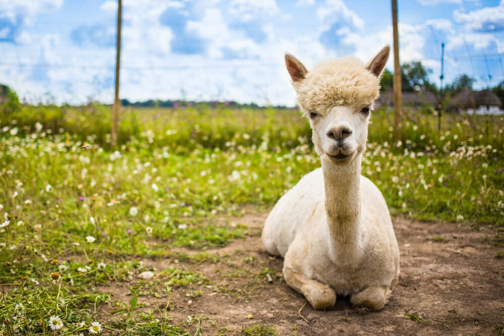 Photo of Alla scoperta dell'alpaca, diverso dal lama e noto per la sua lana pregiata