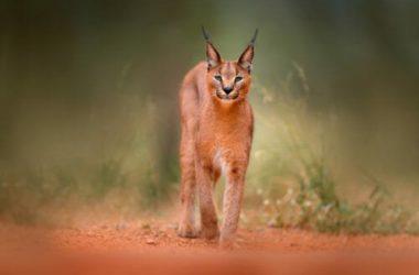 Tutto sulla lince, un animale fiero ma schivo e ormai in via di estinzione