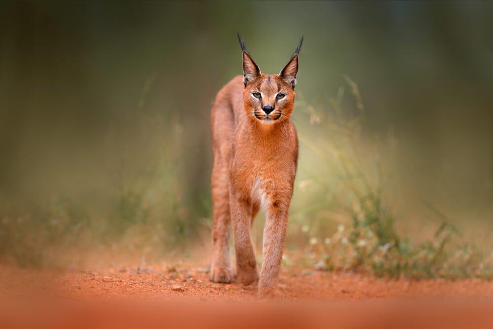 Photo of Tutto sulla lince, un animale fiero ma schivo e ormai in via di estinzione
