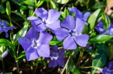 Scopriamo la pervinca, una pianta perenne dalle splendide fioriture e con diverse proprietà benefiche