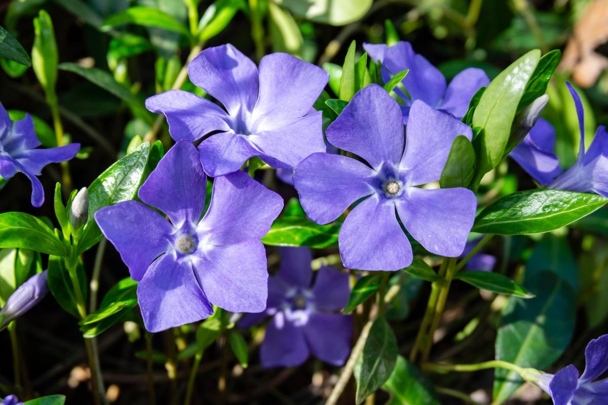 Piante Perenni Resistenti Al Freddo pervinca: proprietà e benefici di questa piante e come
