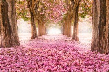 Tutto sui fiori di ciliegio, uno spettacolo naturale che non lascia indifferenti