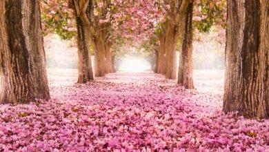 Photo of Tutto sui fiori di ciliegio, uno spettacolo naturale che non lascia indifferenti