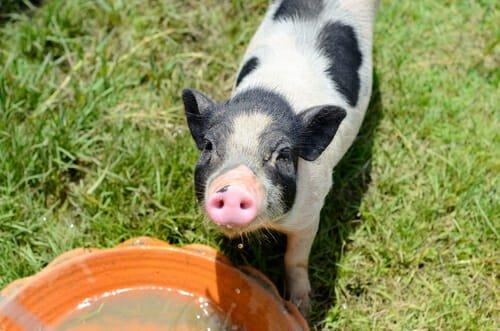 maialino nano animali e condominio