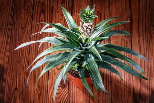 Photo of Scopri come coltivare l'ananas recuperando gli scarti del frutto