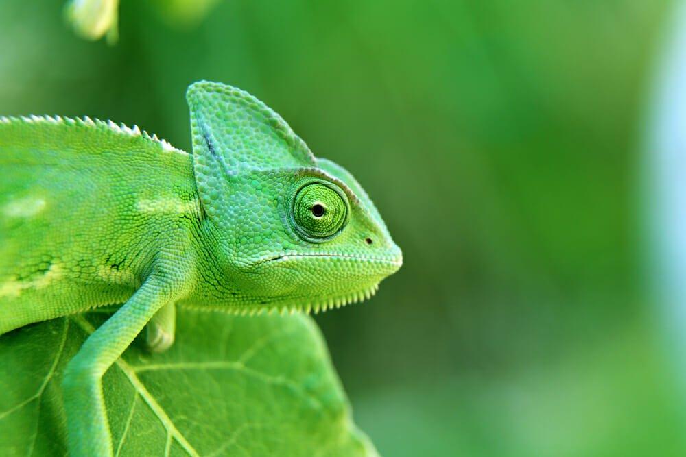 Photo of Il camaleonte, un rettile straordinario dalle sorprendenti capacità