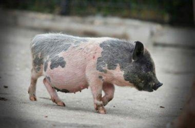 Il maialino nano è un animale domestico dolce e fedele… ed anche pulito!