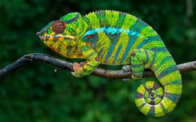 Il camaleonte, un rettile straordinario dalle sorprendenti capacità