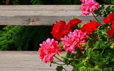Come prenderci cura del Pelargonium, conosciuto anche come geranio