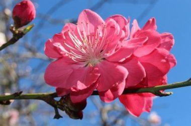 La bellezza delicata dei fiori di pesco: ecco quello che c'è da sapere per coltivare questa pianta