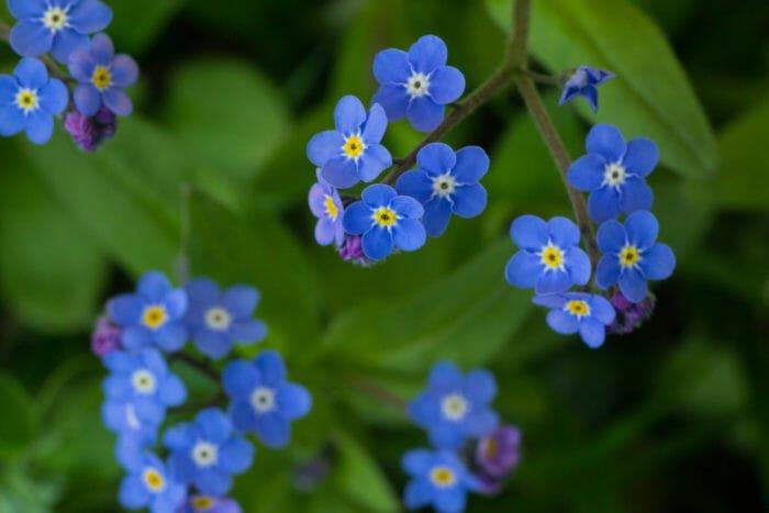 fiori azzurri non ti scordar di me