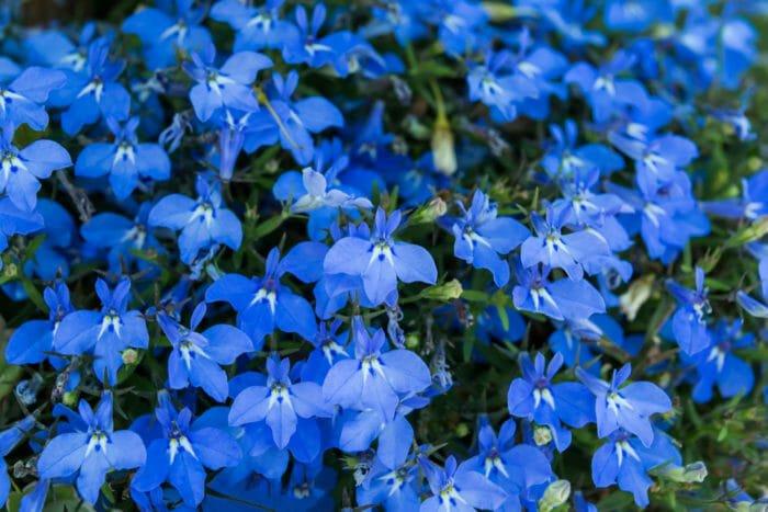 fiori azzurri lobelia