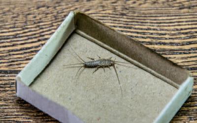 Pesciolini d'argento: i rimedi naturali per liberarsi facilmente da questi insetti