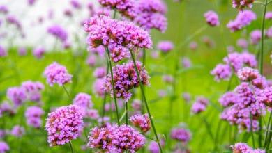 Photo of Verbena, una pianta molto usata sia in erboristeria, che a scopo ornamentale