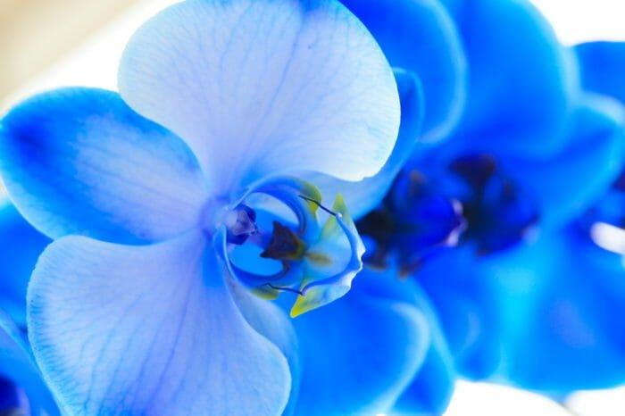 fiori azzurri orchidea azzurra