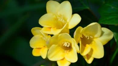 Photo of Fresia: come coltivare questa pianta dalle meravigliose fioriture