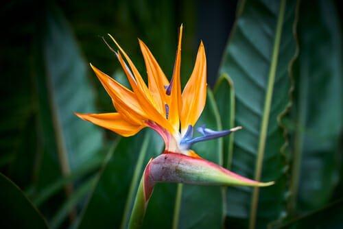 Photo of Tutto sulla strelitzia o uccello del paradiso, una pianta sempre più apprezzata per la sua singolare bellezza