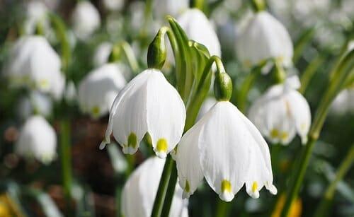 I fiori campanelle, molto amati per la inconfondibile forma a campana dei suoi fiori