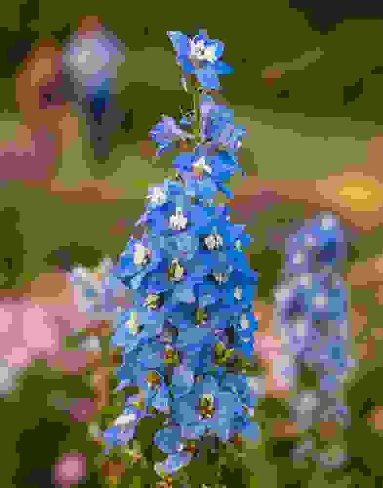 Photo of Il Delphinium è una pianta decorativa con bei fiori violetti disposti a pannocchia