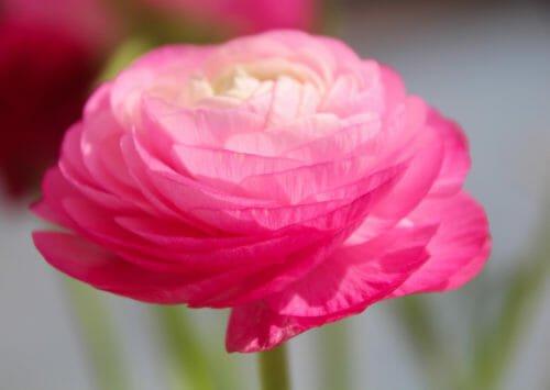 fiori rosa ranuncolo