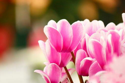 Fiori rosa ciclamino