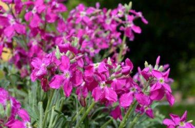 Violaciocca: descrizione, guida alla coltivazione, curiosità e significato nel linguaggio dei fiori