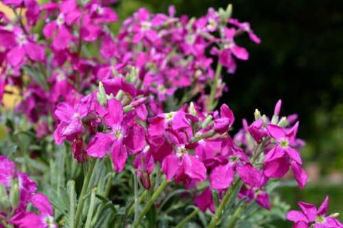 Photo of Violaciocca: descrizione, guida alla coltivazione, curiosità e significato nel linguaggio dei fiori