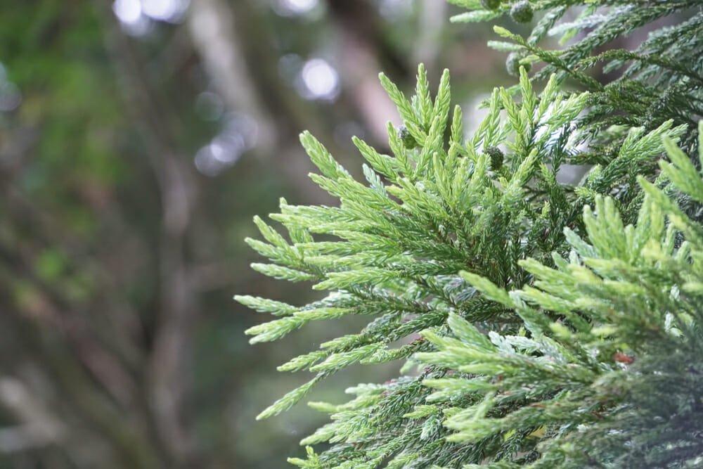 Photo of Quello che c'è da sapere sull'albero di tasso o tasso comune, noto anche come albero della morte