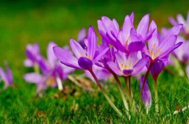 Scopriamo il bulbo del Colchicum, che pur essendo tra le piante più velenose, ha dei meravigliosi fiori rosa simili allo zafferano