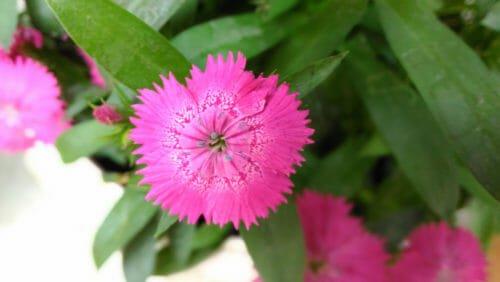 fiori rosa garofano di Balbis