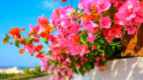 fiori rosa bouganville