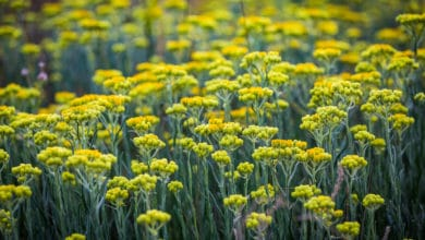 Photo of Scopriamo l'elicriso, un'altra pianta spontanea ricca di utili proprietà