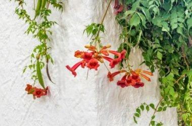 Scopriamo la bignonia, una pianta rampicante con bellissimi fiori, che attecchisce con facilitàsu muri e palizzate