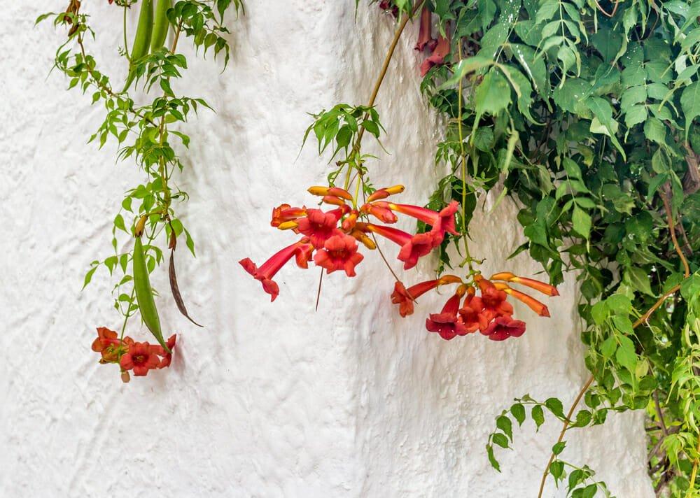 Photo of Scopriamo la bignonia, una pianta rampicante con bellissimi fiori, che attecchisce con facilitàsu muri e palizzate