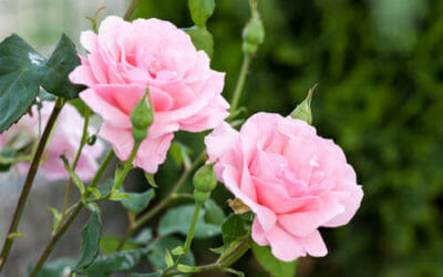 I più bei fiori rosa per il giardino o per il balcone