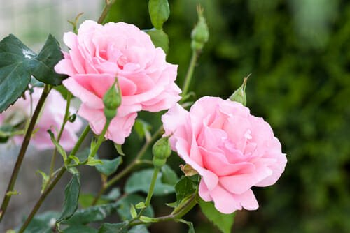 Nomi Di Fiori Rosa.Fiori Rosa Quali Sono I Piu Belli E Come Prendersene Cura