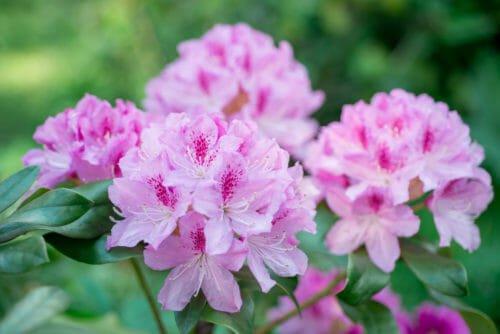 fiori rosa rododendri