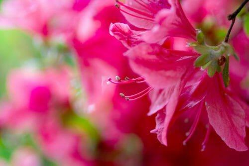 fiori rosa azalea
