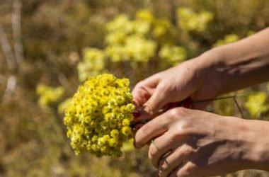 Scopriamo l'elicriso, un'altra pianta spontanea ricca di utili proprietà