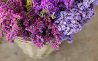 Tutto sul Limonium, per colorare di lilla il giardino e il balcone, chiamato anche Statice o Limonio