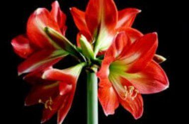 Hippeastrum, meravigliosa bulbosa dai fiori grandi ed eleganti, ma non chiamatela amaryllis!