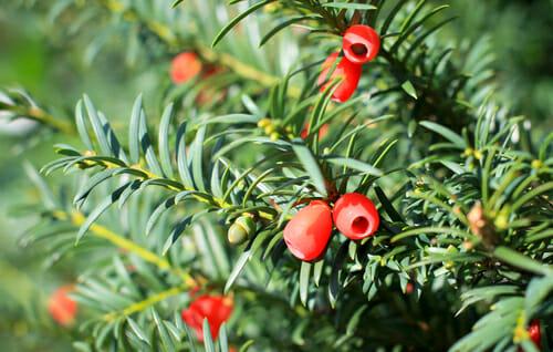 Quello che c'è da sapere sull'albero di tasso o tasso comune, noto anche come albero della morte