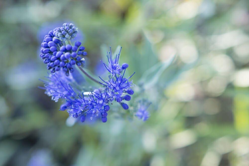 Photo of Caryopteris: coltivazione e cura di questa pianta ornamentale dagli splendidi fiori blu e viola