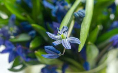 Le varietà principali della scilla, una pianta bulbosa dai fiori bellissimi