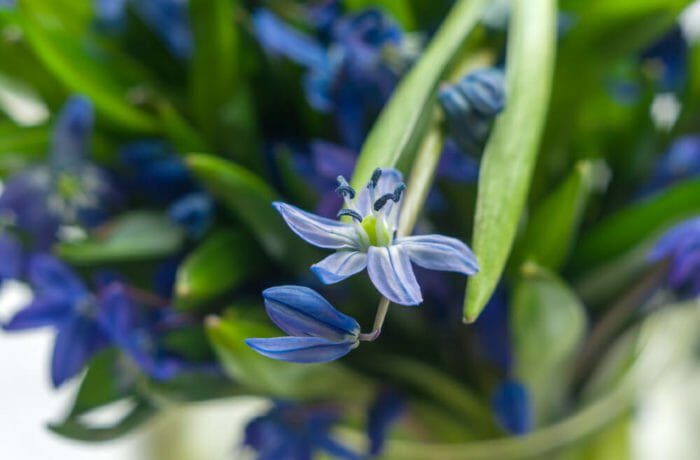 Photo of Le varietà principali della scilla, una pianta bulbosa dai fiori bellissimi