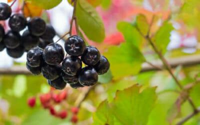 Qualità antiossidanti e antistress delle bacche di Aronia nera