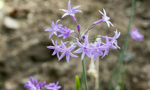 Tulbaghia: pianta aromatica dai fiori violacei all'odore di aglio