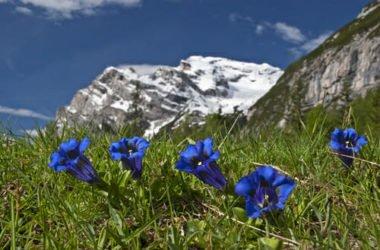 La genziana alpina, pianta dai fiori blu che cresce sulle Alpi, nota anche per il liquore che se ne ricava