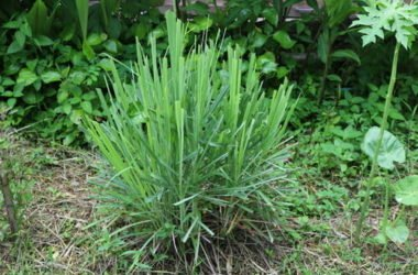 La citronella, la pianta anti-zanzare per eccellenza che possiamo usare anche in cucina