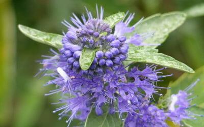 Caryopteris: coltivazione e cura di questa pianta ornamentale dagli splendidi fiori blu e viola